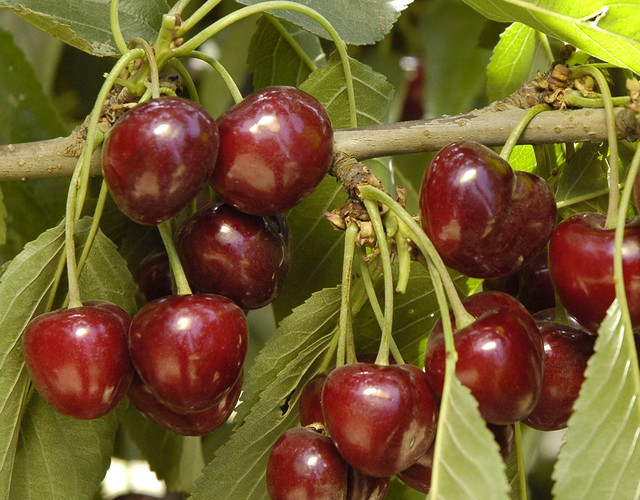 Wiki how to grow cherries from pits